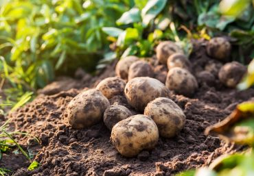 How to sow and grow maincrop potatoes