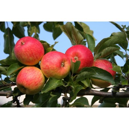 Apple (Malus) Red Falstaff® Step-Over M27