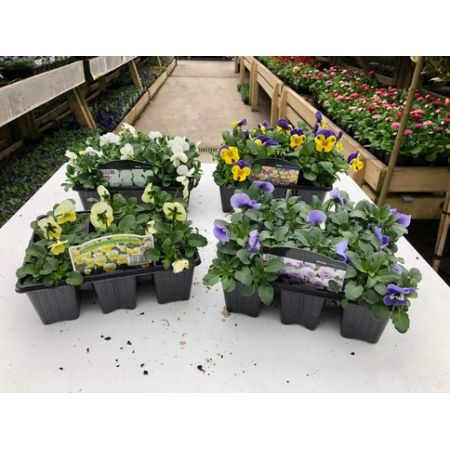 Viola 6 Pack Our Selection
